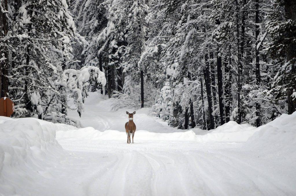 montana_deer_snow